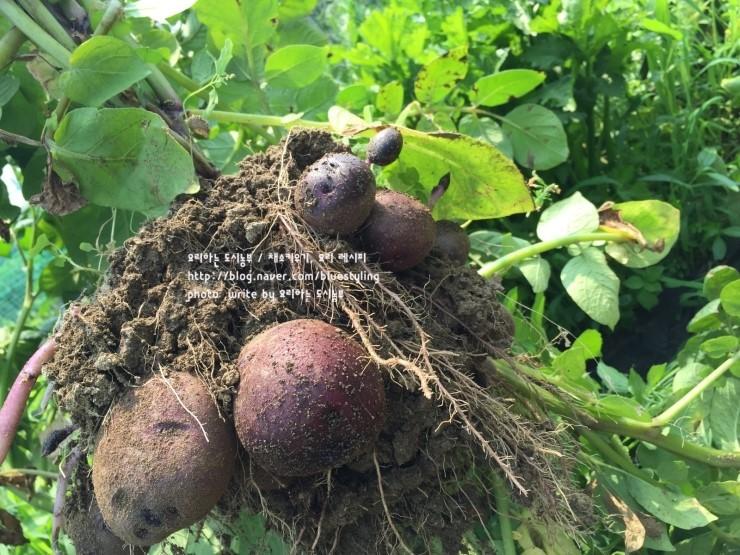 홍감자키우기. 감자 수확 ~텃밭가꾸기.채소키우기 ~ 먹음직한 홍감자~
